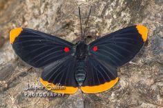 Smith's Pixie (Melanis smithiae)