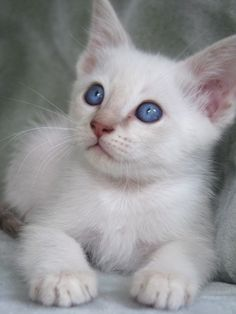 I've never owned a Siamese, but I've heard they are lovable but very 1 person oriented. I think I would like that