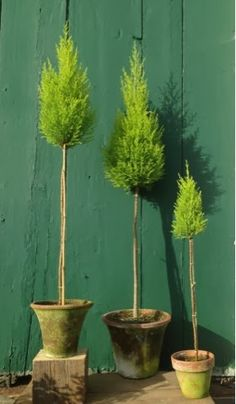 Our Synonymous Topiaries: Lemon Cypress or Cupressus Macrocarpa Topiary Garden, Topiary Trees, Garden Planters, Love Garden, Shade Garden, Container Plants, Container Gardening, Lemon Cypress, Fast Growing Plants