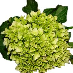 """FiftyFlowers.com - Baby Hulk Green Hydrangea Flower 40 for $129, 2-1/2"""" to 3"""" blooms"""