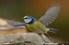 Blaumeise - takeoff