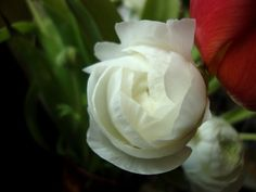 Ranunkelblüte - Ranunculus flower