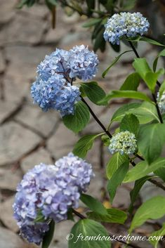 These tips for figuring out why your hydrangea isn't blooming are awesome. Find out what you need to do to get beautiful perennial Hydrangea flowers in your garden landscaping. Smooth Hydrangea, Hydrangea Bloom, Hydrangea Not Blooming, Hydrangea Flower, Flowers Garden, Garden Plants, Clematis Plants, Hydrangea Garden, Incrediball Hydrangea