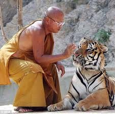 Thailand's Tiger Temple, two hours drive from Bangkok in the Kanchanaburi province. Since 1999, Monks have taken care of the tigers rescued from poachers, having around 17 fully grown tigers and cubs housed within the temple grounds.