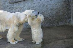 loveforallbears:  Save The Arctic