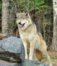 International Wolf Center   Flickr - Photo Sharing!