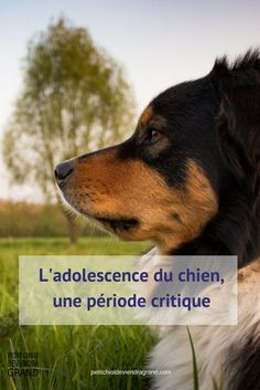 L'adolescence du chien une période critique - Petit chiot deviendra grand Jack Russell Terrier, Australian Shepherd, Adolescence, Yorkshire Terrier, All Dogs, Dog Care, Cat Life, Dog Training, Cat Lovers