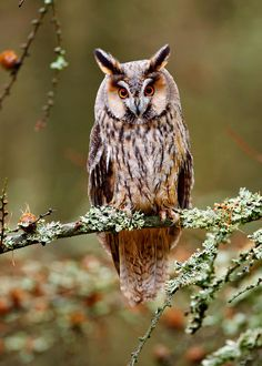 This guy's a real beauty. The long-eared owl is found in North America, Europe, and Asia. Owl Photos, Owl Pictures, Australian Parrots, Owl Quilts, Baby Quilts, Nocturnal Birds, Long Eared Owl, Owl Bags, Barred Owl
