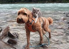 Helping hand: When  Koda the kitten is lucky, he  manages to hitch a ride on Jessie's back