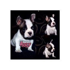 Two Loving French Bulldogs Looking For New Homes