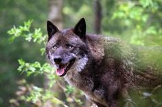 Storymap: Kort og tidslinje om de mange historier om ulvens ankomst i Sydjylland
