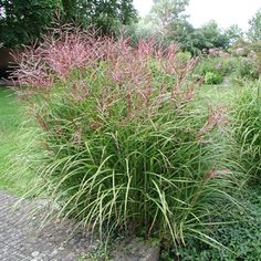:: Miscanthus sinensis 'Ferner Osten' - Chinaschilf :: Gräser :: Sichtschutz - Pflanzenversand Gaissmayer