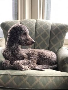 The gorgeous Rugar owner by Bianca. Poodle Haircut Styles, Poodle Grooming, Clean Face, Poodles, Asian Style, Pranks, Hair Cuts, Throw Pillows, Animals