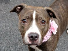 TO BE DESTROYED 6/3/14 Manhattan Center   My name is DIP. My Animal ID # is A1001488. I am a female br brindle and white pit bull mix. The shelter thinks I am about 5 YEARS old.  I came in the shelter as a OWNER SUR on 05/30/2014 from NY 10010, owner surrender reason stated was PERS PROB.  https://www.facebook.com/photo.php?fbid=813160555363492&set=a.611290788883804.1073741851.152876678058553&type=3&theater