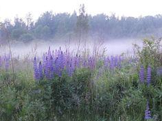 Lupins in the fog Tuula Sotamaa /kesäkuvat 2015/yle.fi