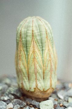 "theherbarium: ""terramantra: This plant is Euphorbia obesa, a succulent from southern Africa """