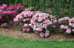 Asijské rododendrony :: Rododendron.cz