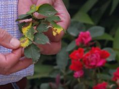 How to protect your roses from fungal diseases | Star Roses & Plants