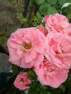 Bantry bay pink climbing roses climbing flowers pinterest bantry bay mightylinksfo