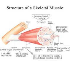 myofilament images | When a muscle contracts it decreases in length because individual ...