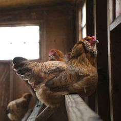 `Red hen perched in chicken coop with hens in the background on an organic farm in Sonoma County, CA.
