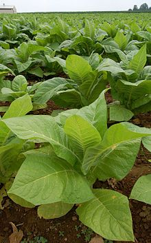 Tobacco is a plant that grows natively in North and South America. It is in the same family as the potato, pepper and the poisonous nightshade. It is believed that Tobacco began growing in the Americas about 6,000 B.C.! As early as 1 B.C., American Indians began using tobacco in many different ways, such as in religious and medicinal practices.