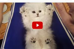 Ticklish Kitten Unbelievably Cute Toe Beans! - Love Meow
