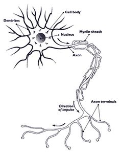 Neurone anatomy. My husband's are like this, I suppose...