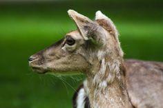 Ivana Piskáčková took this awesome photo that has animal, deer, mammal, wildlife in it Mammals, Goats, Deer, Wildlife, Goat, Reindeer