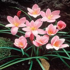 Fairy Lilies, also known as Rain Lilies is a species that originated in the #Caribbean. Perfect for #rock gardens or added to a mixed border, Fairy Lilies are known for their habit of blooming several times a season, usually 3 or 4 days after it rains. #Spectacular pink flowers abound from