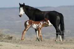Mustang mare and foal in Sand Wash Basin, Colorado