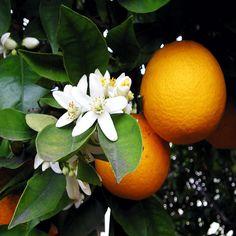 Znalezione obrazy dla zapytania kwiat pomaranczy gałazka