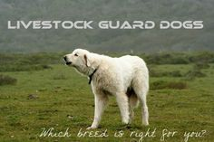 One of my articles on 4 of the best breeds of #dogs for guarding #livestock.
