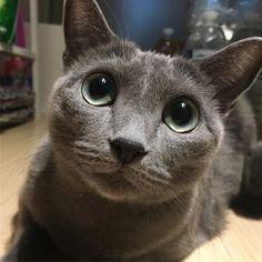 おはよう🌞 #모리 #냥스타그램 #인스타캣 #캣스타그램 #러블 #러시안블루 #반려묘 #cat #cats #catstagram #instacat #catsofinstagram #russianblue #lovely #kitty #kitten #pet #cute #catsoftheday #猫 #ねこ #ねこ部 #愛猫