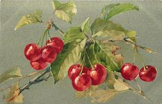 Cherries on branch. Possibly unsigned Catherine Klein. Circa 1905.