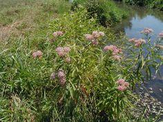 Swamp Milkweed RAIN GARDEN