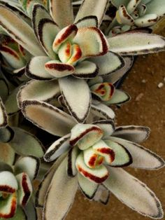 Kalanchoe tomentosa cultivar 'European Clone'
