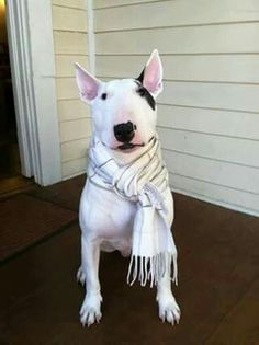 """Suave is my name!"" #dogs #pets #BullTerriers facebook.com/sodoggonefunny"