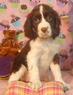 Adorable Springer Spaniel pup.  A whole lot of love wrapped up in fur and deep soulful eyes!