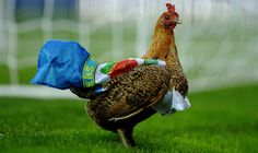 Soccer Chicken! Fowl Play: Angry Rovers Fans Throw Hen On Pitch