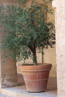 Just about decided I want a potted olive tree in the courtyard. LOVE the big olive tree we planted in the backyard, so I think I would also love a smaller, container version in the courtyard. Just about decided I want a p
