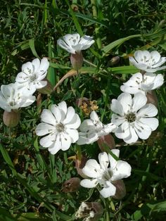 Flores silvestres blancas ll.
