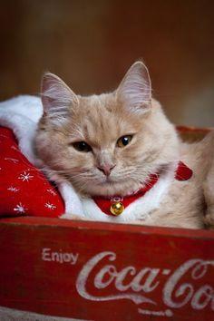 Christmas, coca cola crate, cat