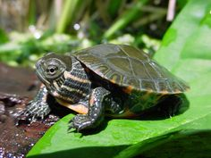Painted Turtle Care Sheet - Reptiles Magazine