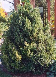 The Boxwoods - Buxus sp - Buxus 'Green Mountain' - Cary Award Winner - Distinctive Plants for New England. Hardy in Zones 4-8. Evergreen. Good for hedges. 2-5' Tall. Full sun or partial shade, drought tolerant. Deer resistant.