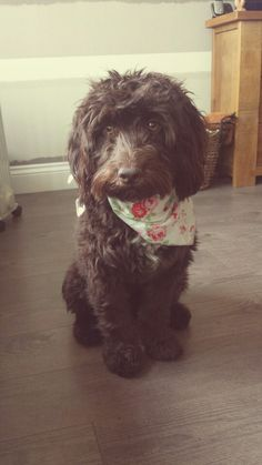 Chocolate Cockapoo Cuteness - dog bandanna