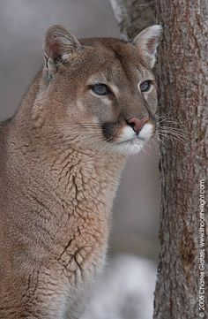 Puma (love the different eye colors they can have  ) J
