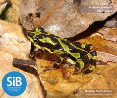 El sapo arlequín del Chocó (Atelopus spurrelli) es endémico a este territorio de Colombia. Se encuentra en estado vulnerable según la lista roja de IUCN por pérdida de hábitad y la enfermedad mortal de los anfibios: Quitridiomicosis.