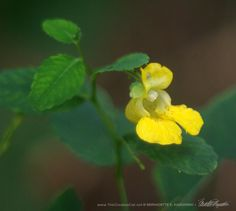Jewelweed; they can also be orange.