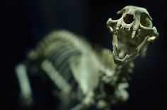 Image discovered by Find images and videos about animal, bones and dino on We Heart It - the app to get lost in what you love. Cat Skeleton, Skeleton Bones, Dinosaur Skeleton, Skull And Bones, All My Friends Are Dead, Spooky Scary, Creepy, Danse Macabre, Animal Bones